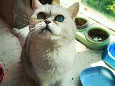 西安纯种美短标斑,银渐层,英短蓝猫,英短蓝白,疫苗齐全性格好