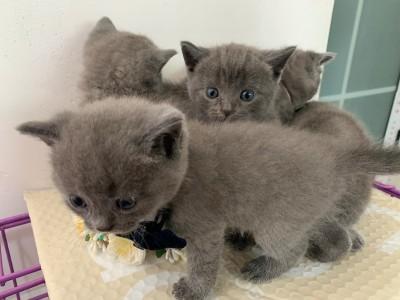 英短蓝猫亲人可爱