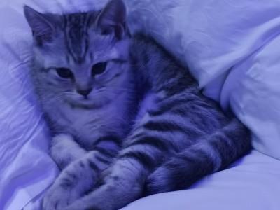 三个月大银虎斑,性格活泼,会用猫砂盆。