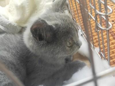 英短蓝猫,两个月,已打一针疫苗 价格可议
