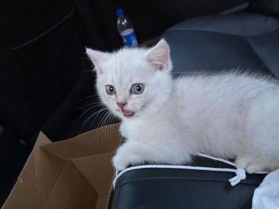 银渐层两个多月没打疫苗附赠全套猫粮猫砂猫零食