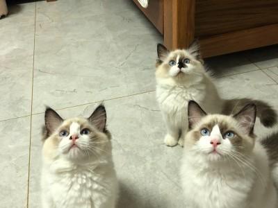 云南省昆明市三个月布偶猫
