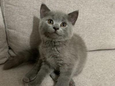 蓝猫温顺聪明可爱