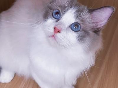深圳市的布偶猫乖巧温顺