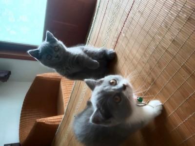 坐标山东青岛矮脚蓝猫