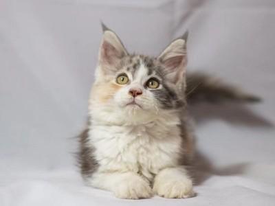 三花缅因母猫,家庭繁育,坐标广东中山