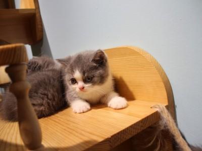 纯血统英短蓝猫蓝白乳白纯白蓝乳美国CFA猫舍