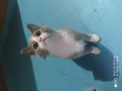 长春市蓝白幼猫转让!