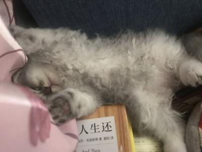 两个月长毛虎斑小奶猫找新家