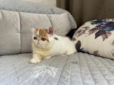 加菲猫,双血统,自家繁殖,寻找西安本地家长