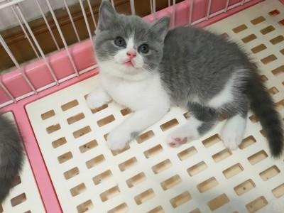 给宝贝们找新家,蓝猫,蓝加白,纯蓝,自家繁育保证健康