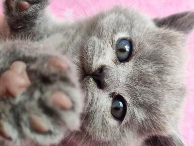 蓝猫  纯种蓝猫  纯配的 想给小猫找个家人  价格可谈