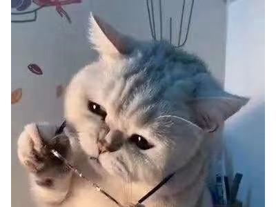 哈尔滨阿城区  自家繁殖的英短银渐层,幼猫