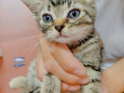 自己繁育美短幼崽公母都有保健康送猫粮