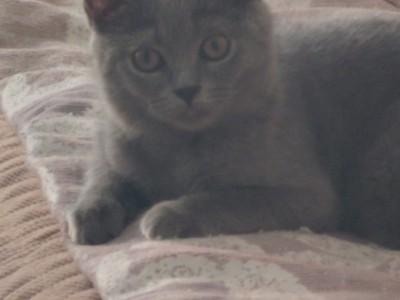 三个月的小蓝猫