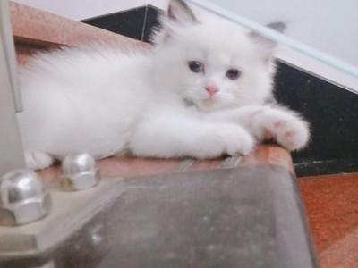 布偶猫 幼崽