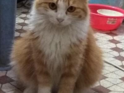 广州霸气缅因布偶猫王(猫图两张)