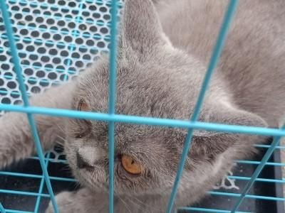 蓝猫,挺纯的,两岁了,母猫,疫苗全打