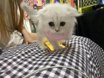 出售金吉拉 三个月大 两只小公猫 乖巧可爱非常黏人