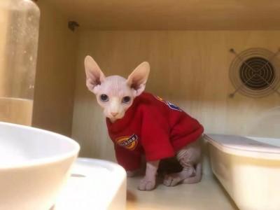 无毛猫 小公猫 6个月 无病无癣 自己在宠物店买回来养的
