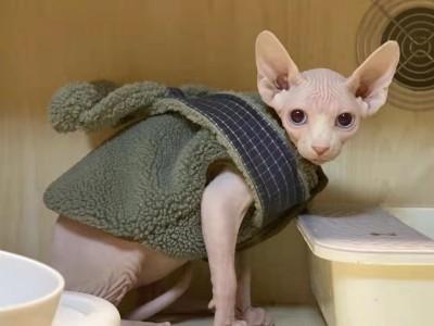 北京市 无毛猫 6个月 小公猫自己养的无病无癣有原因没法养了