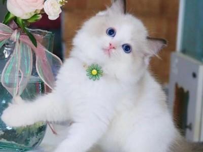 布偶猫领养啦