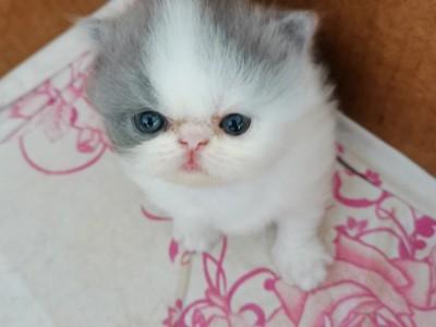 一只加菲长毛猫、一只加菲短毛猫