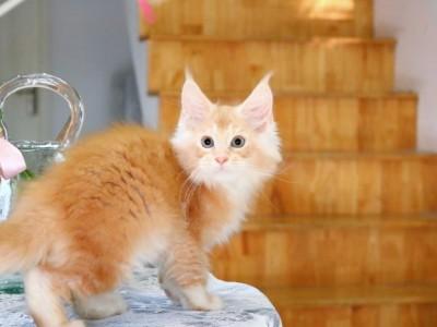 缅因猫领养