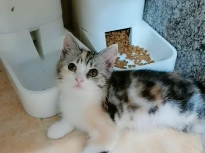 三个月英短妹妹,自家英短三花和蓝猫生的可爱乖巧