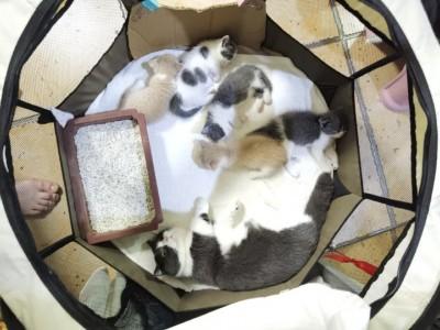 矮脚猫,米努特,曼基康,深圳