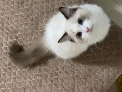 北京市大兴区    布偶猫   蓝双