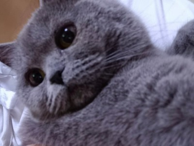 英短蓝猫,朝阳凌源市,疫苗全打过,公猫,未绝育