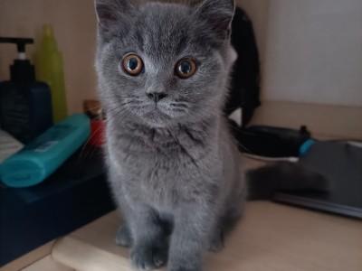 蓝猫出售,坐标重庆