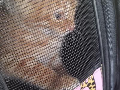 家养2个月中华田园猫,坐标榆林