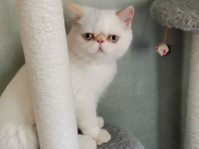 兰州市的加菲小猫,活泼可爱,特别亲人