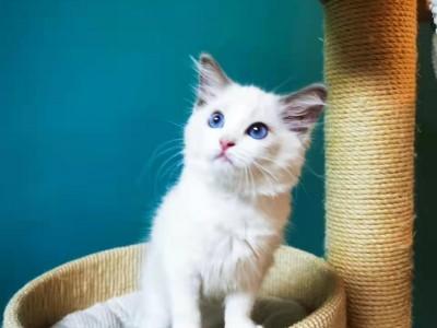自养布偶猫出售,坐标上海